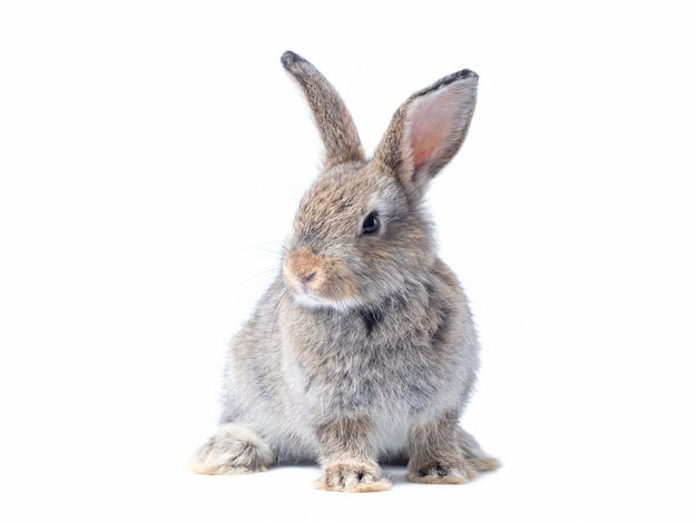 Adorable baby gray rabbit sitting isolated on white wall.