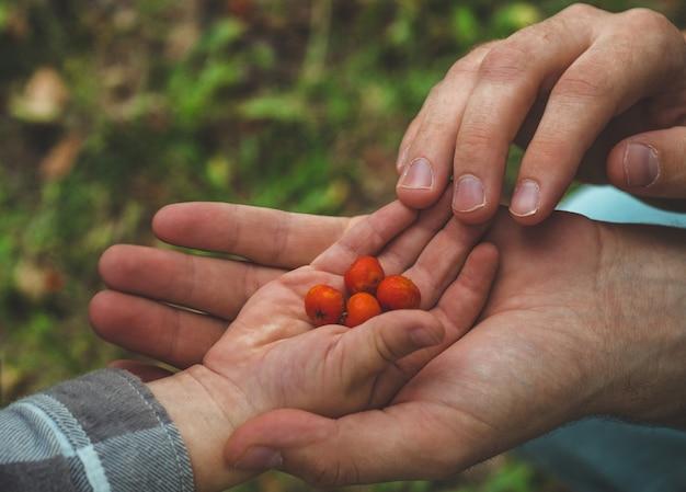 Очаровательная детская рука, собирающая рябину руками мужчин и глядя на природу. крупный план.