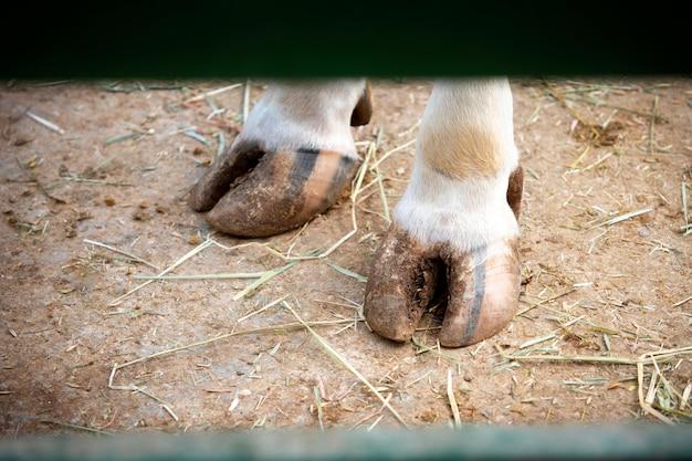 농장에서 사랑스러운 아기 돼지 다리