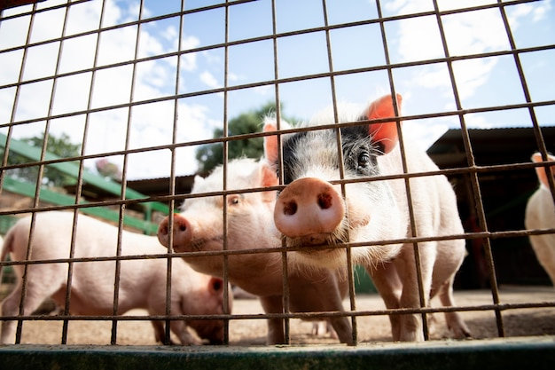 Adorable baby pigs at the farm