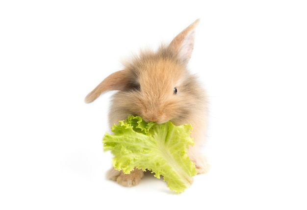 Adorable baby rabbit eating cabbage on white background