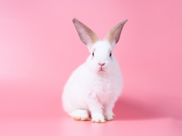 Adorable baby white rabbit sitting on pink wall.