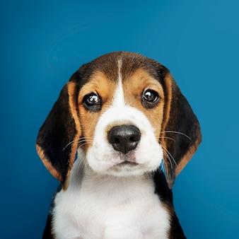 사랑스러운 비글 강아지 솔로 초상화