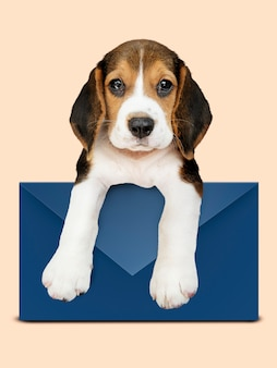 Adorable beagle puppy with a blue envelope