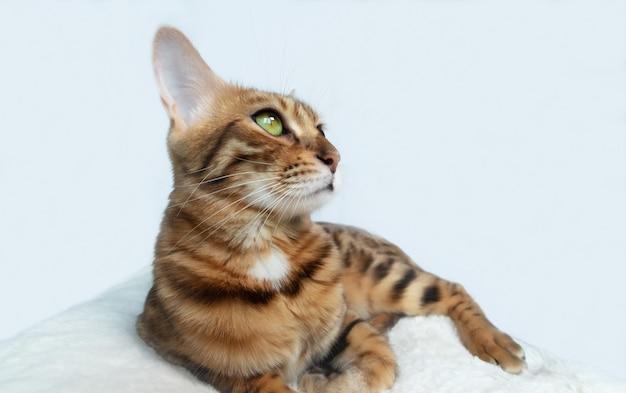 白い背景の上の愛らしいベンガル猫