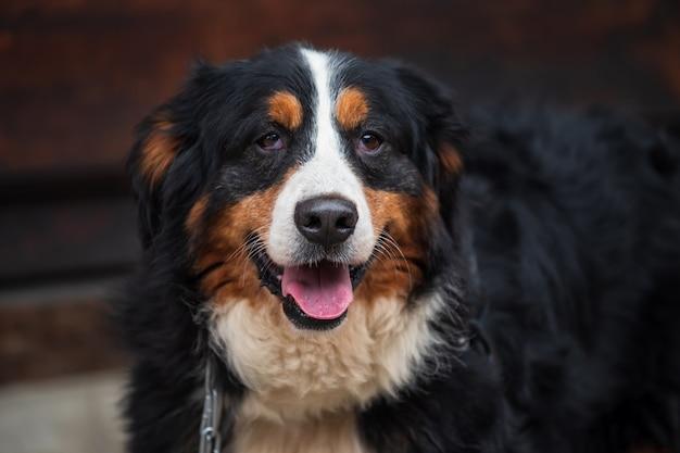 Adorable big bernese mountain dog