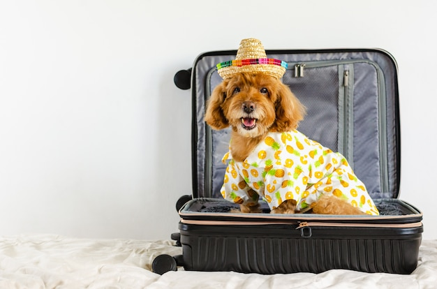 An adorable black poodle dog wearing hat and dress while sitting in the luggage