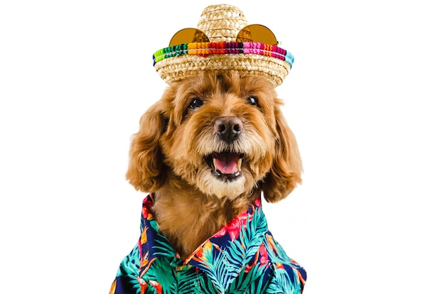 An adorable black poodle dog wearing hawaiian shirt