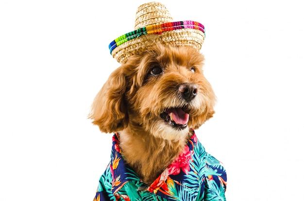 An adorable black poodle dog wearing hawaiian shirt