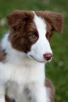 地面に座っている愛らしいボーダーコリーの子犬。公園で生後4ヶ月のかわいいふわふわの子犬。