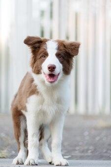 地面に座っている愛らしいボーダーコリーの子犬。公園で生後4ヶ月のふわふわの子犬。