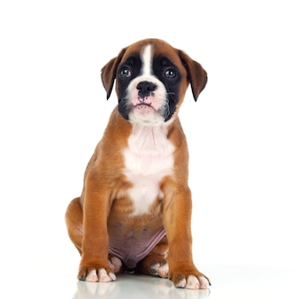 Adorable boxer puppy sitting
