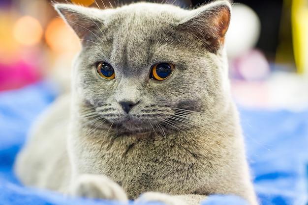 オレンジ色の目が座ってカメラを見ている愛らしいブリタン灰色の猫