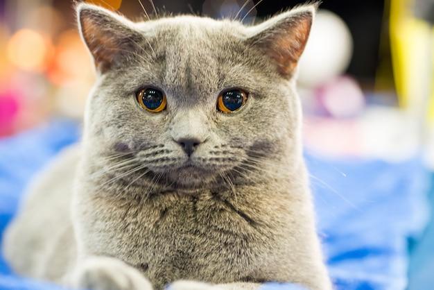 Очаровательный британский серый кот с оранжевыми глазами сидит и смотрит в камеру
