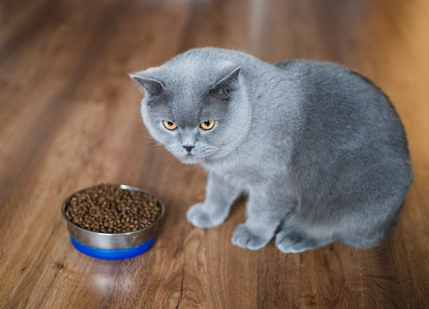 Adorable british cat near bowl with food at home
