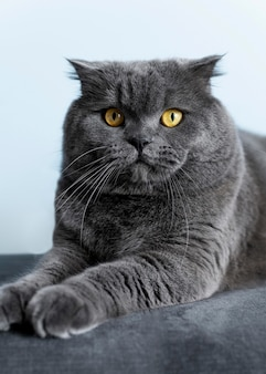 Adorable british shorthair kitty with monochrome wall behind her