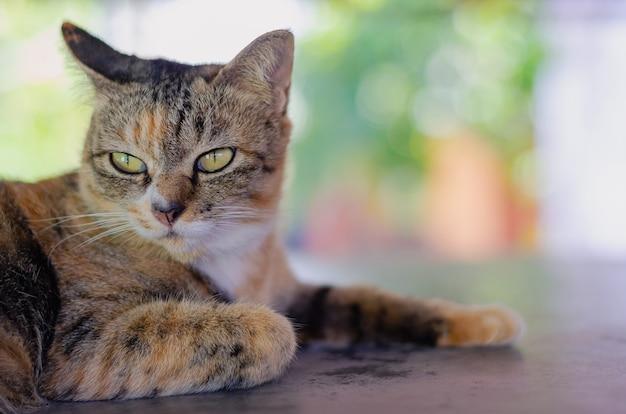 Очаровательны коричневый цвет домашней кошки расслабляющий и глядя где-то на столе в доме.