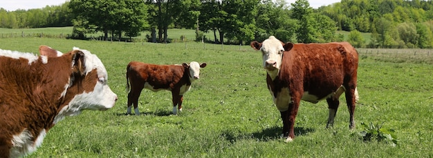 木々に囲まれた芝生のフィールドに愛らしい茶色の牛