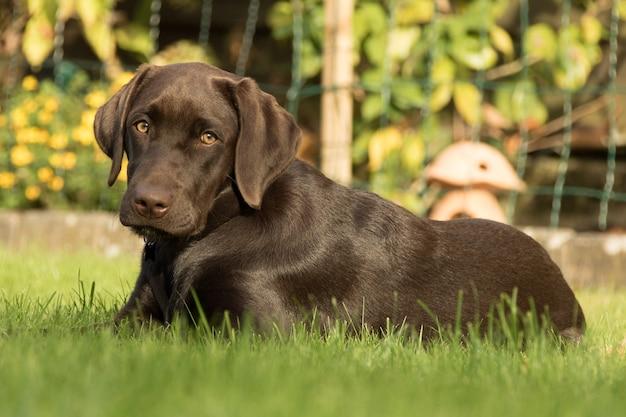 公園の芝生の上に座っている愛らしい茶色のラブラドールレトリーバー