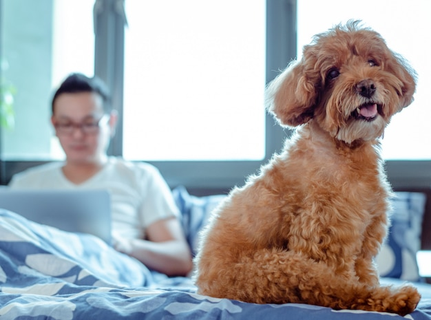 An adorable brown poodle dog looking at camera when enjoy and happy