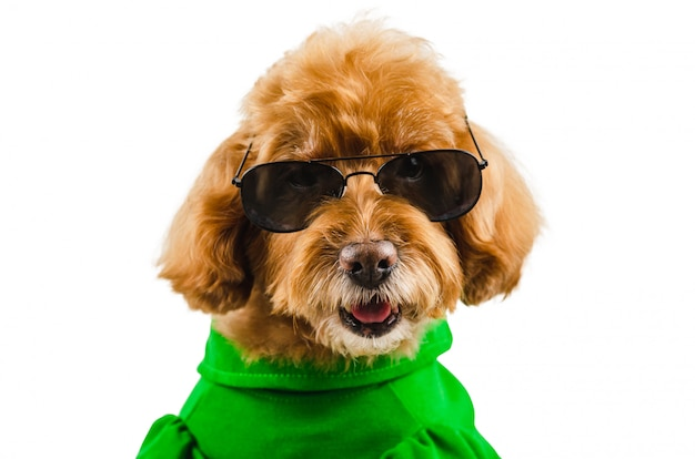 An adorable brown poodle dog wearing green casual dress with sunglasses