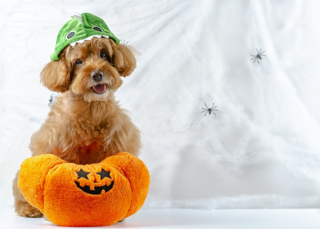 Adorable brown poodle dog with pumpkin toy sitting at spiders cobweb background