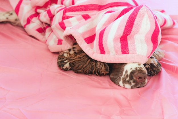 Adorable brown and white english springer spaniel dog covered with soft striped plaid