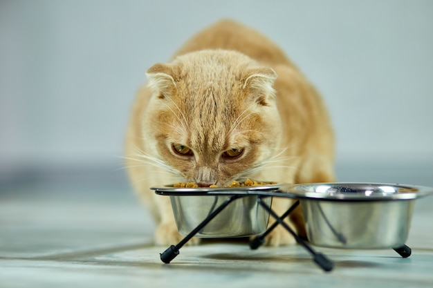 Adorable cat eating dry crunch food in metal bowl near indoors at home. pet care concept, domestic pet feeding.