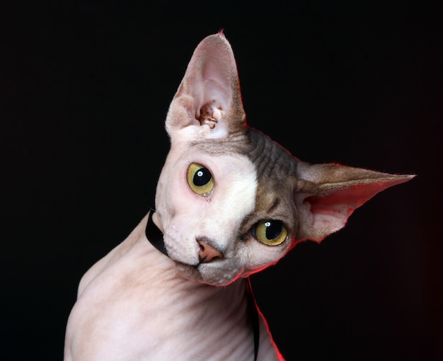 Adorable cat without hair