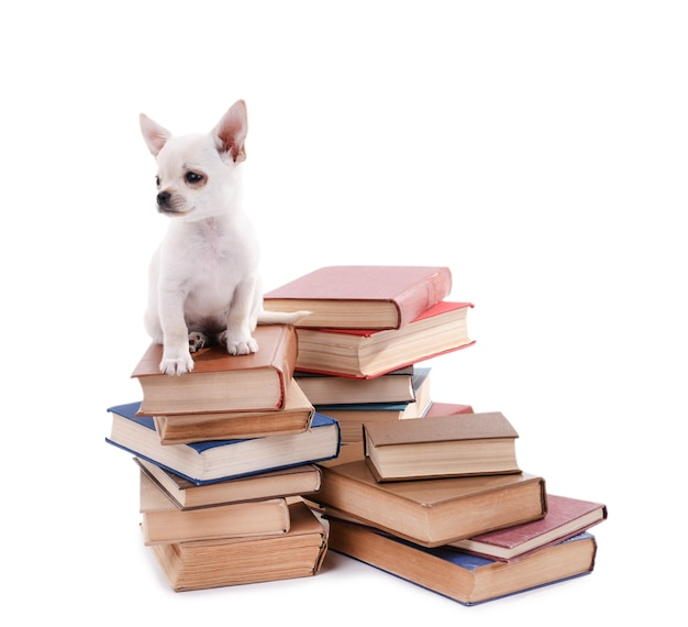 白で隔離の本の山に愛らしいチワワ犬