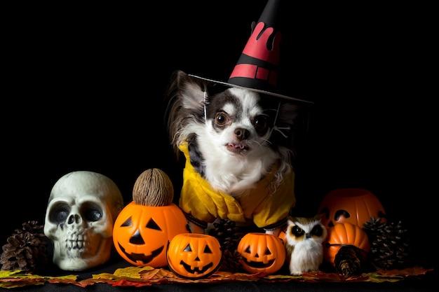 Очаровательная собака чихуахуа в шляпе ведьмы хэллоуина и держит тыкву на темном фоне. с днем хэллоуина.