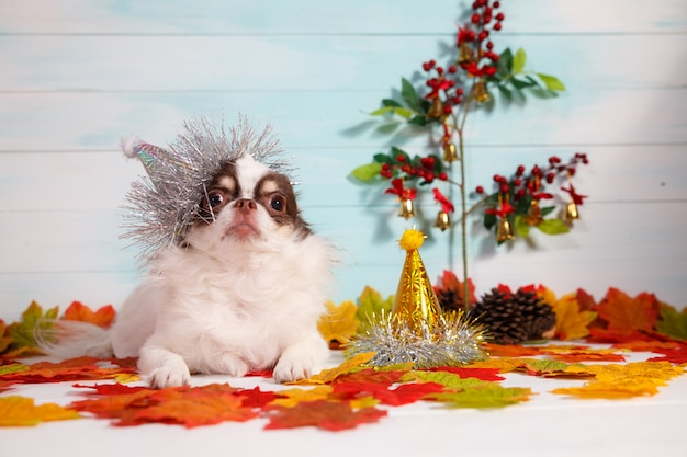 Adorable chihuahua dog wearing a new year conical hat on festive  .