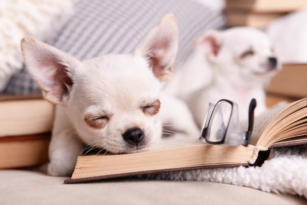 Очаровательные собаки чихуахуа с книгами на диване