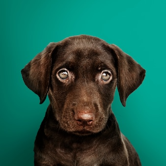 Adorable chocolate labrador retriever portrait