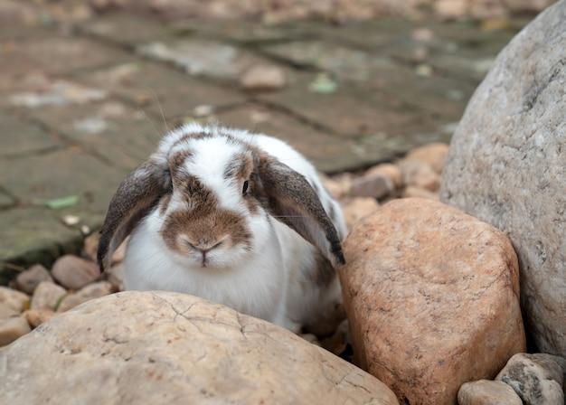 정원에 있는 바위 뒤에 서 있는 사랑스러운 통통한 네덜란드 토끼