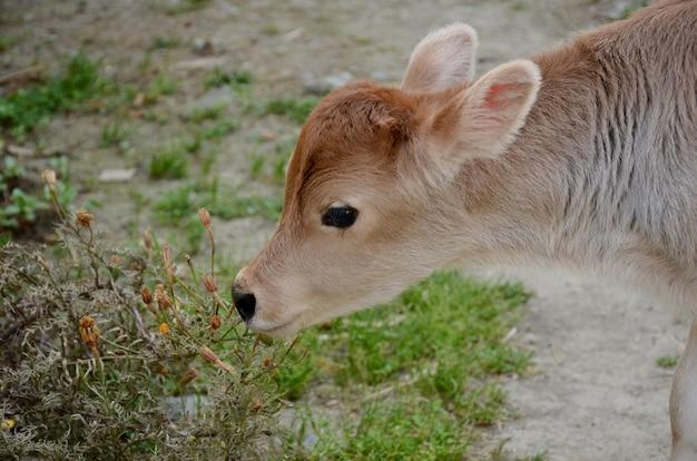 Adorable cream colored calf standing in the rural garden