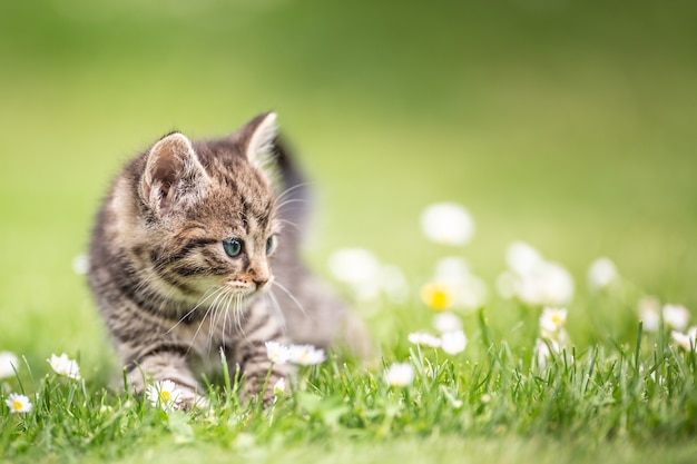 Adorable and curious little tabby kitten vigorously playing in the garden in the grass.