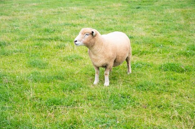 영국의 동물 농장에서 푸른 잔디에 있는 사랑스러운 작은 양 lbbaby mb