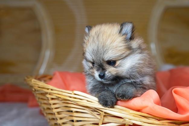Очаровательны милый щенок крупным планом померанский шпиц в корзине открытка