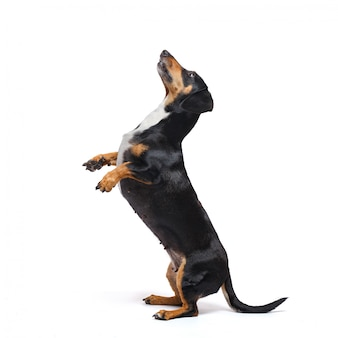 Adorable dachshund dog stands on its hind legs on a white surface