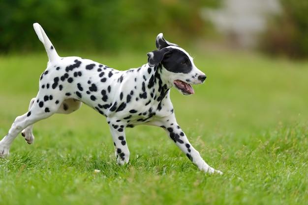Очаровательная далматинская собака на открытом воздухе летом
