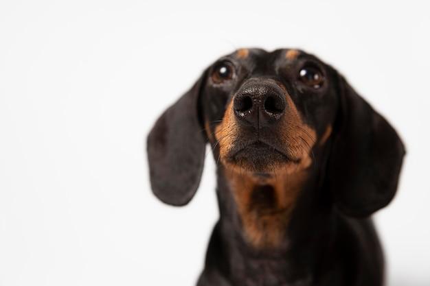 Очаровательная собака, глядя в студии