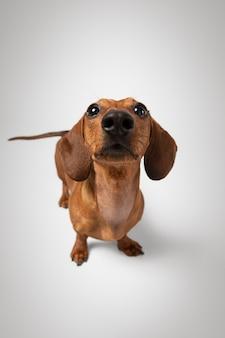 Adorabile cane che guarda in alto in uno studio