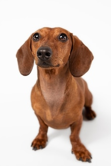 Adorable dog looking up in a studio