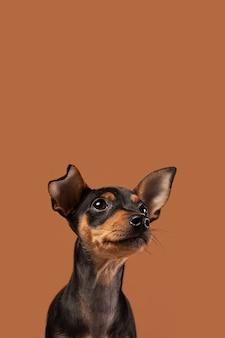 Adorable dog portrait in a studio