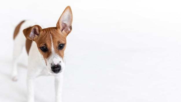 Очаровательная собака позирует с копией пространства