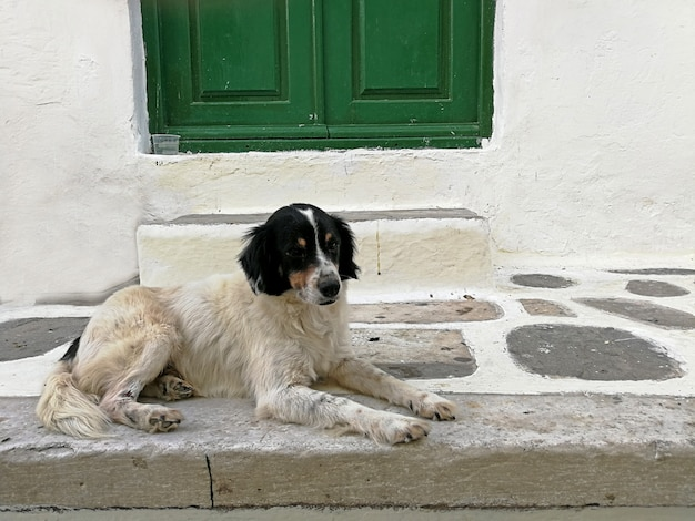 Adorable dog sitting on the floor in front of the stairs and green door in mykonos greece