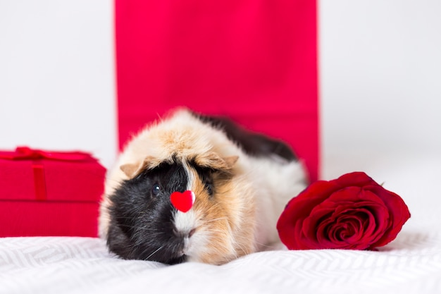 Adorable domestic cavy with red rose