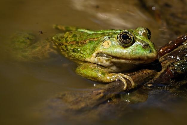 Прелестная съестная лягушка лежа на болоте в летнем времени.