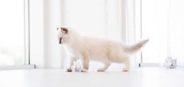 Adorable fluffy white ragdoll cat playing with paper balls on the floor in light room. lovely cute purebred feline pet outdoors with toys